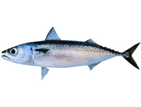 chub-mackerel